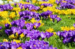 Crocus meadow: Colorful crocusses in a spring meado