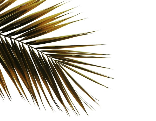 Palm leaf isolated: Palm leaf against white background