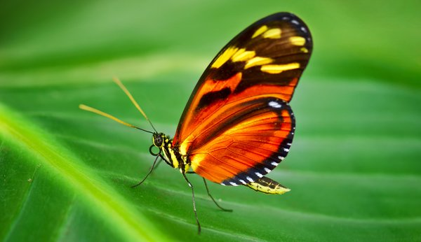 Orange Schmetterling: