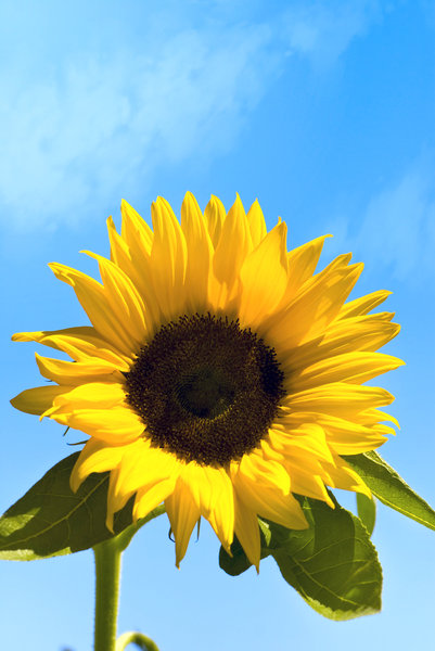 Sunflower: The happiest symbol of summer!