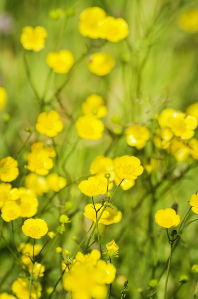 Buttercups: buttercups in grass