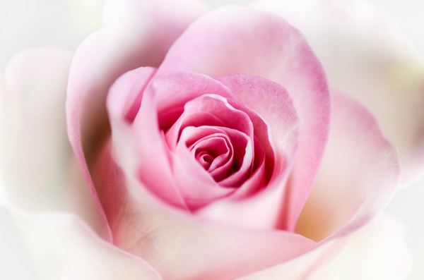 pretty pink rose: pretty pink rose