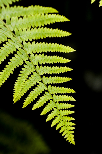 Fern: fern leave againt black background
