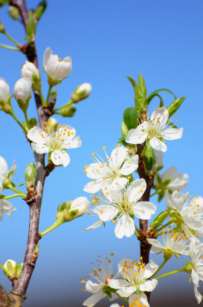 White cherry blossoms: white cherry blossoms