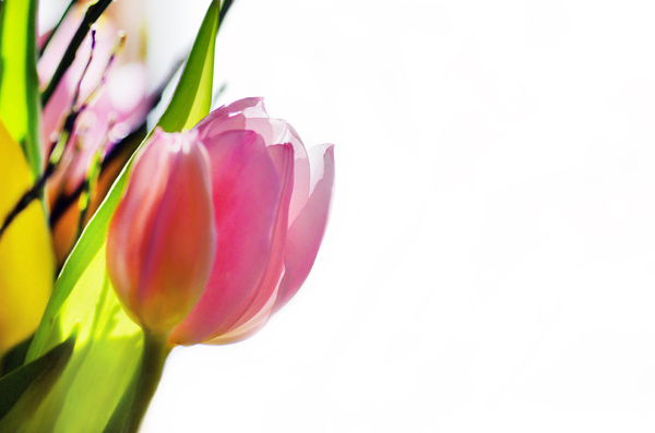 tulp abstract: